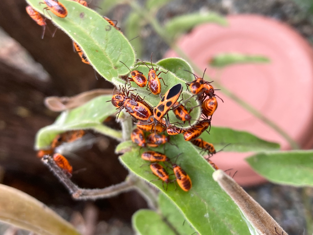 庭のブルースターに大量のオレンジ色の虫が発生しています。この虫はなんていう虫でしょうか?対策も教えてくださると助かります(;゜0゜)