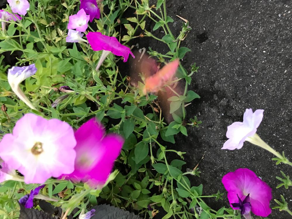 この虫の名前を教えてください。 ホバリングしながら花の蜜を吸っていたのですが、動きが速すぎてうまく写真に収めることができませんでした。 この写真で分かりますか?