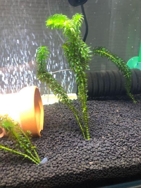 水草がうまく育ちません。アナカリスを半年前に買ってきてトリミング等をして今まで植えてきましたが、ヒョリヒョロです。買ってきた当初は茎も太く、葉も大きかったのですが現在はご覧の有り様です。 また下の方から葉がボロボロになるのですが、これは金魚に食べられているのか、枯れてしまっているのかどちらなのでしょうか? どなたか育て方のアドバイスをよろしくお願いします。
