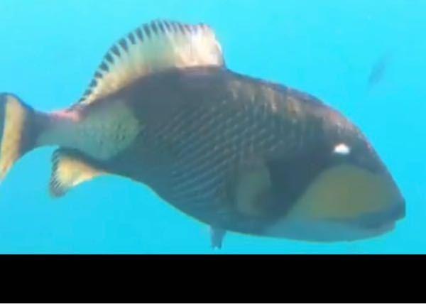 魚に詳しい方教えてください! 沖縄の北部で出会いました! なんていう魚でしょうか? ご教示頂きたいです ♂️ ♂️ ♂️