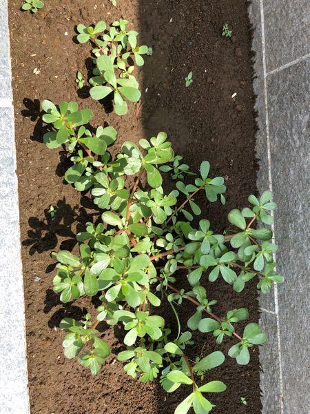 これは何の草?花?でしょうか。 花壇に勝手に生えてきた植物です。