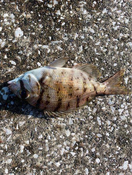 息子が釣ってきました 魚の名前と食べ方教えて下さい。 15センチ強のサイズです