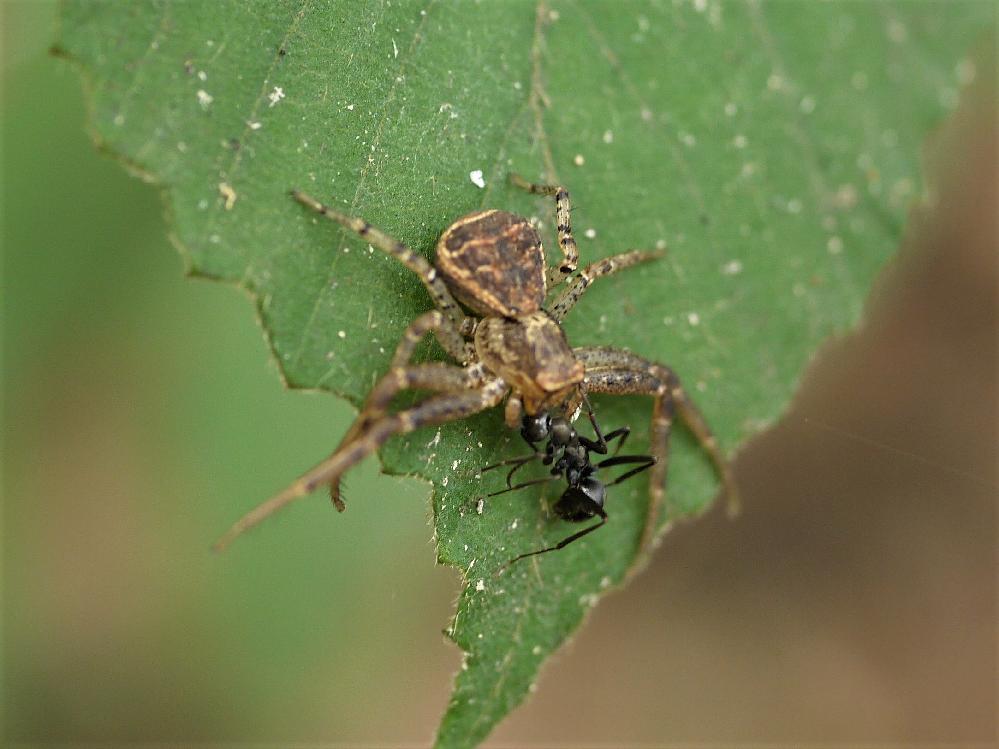 このクモの名前を教えてください。よろしくお願いいたします。