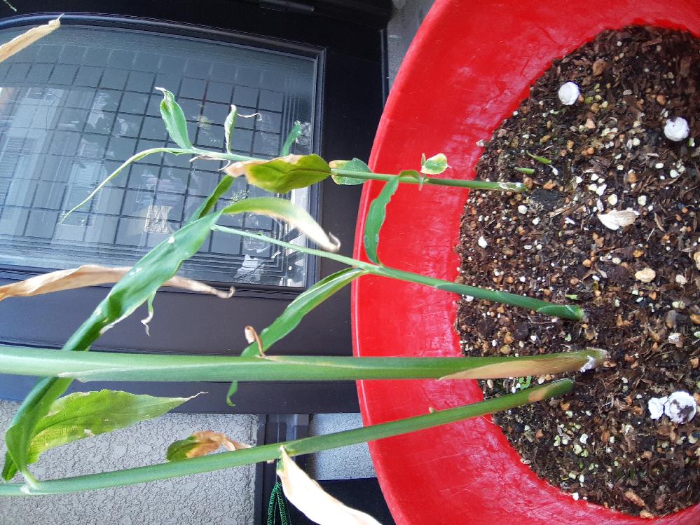 生姜の家庭栽培でお尋ねします。午後は日当たりが良すぎる所で置いています。梅雨明けぐらいから葉の色が黄色っぽくなり枯れた感じになってきました。病気を調べましたがどれに該当するのか今一つ解りません。茎? 根元?は柔らかくはありませんが一部白っぽく見えます。これは処分した方がいいのですか?他にも幾つか芽も出て来ているのでどうしたものか悩んでいます。ご存知の方アドバイスをお願いします。
