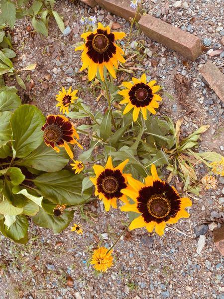 亡くなったおばあちゃんが育てていた花なんですが、向日葵に似ていて……なんという花か分かりますか?