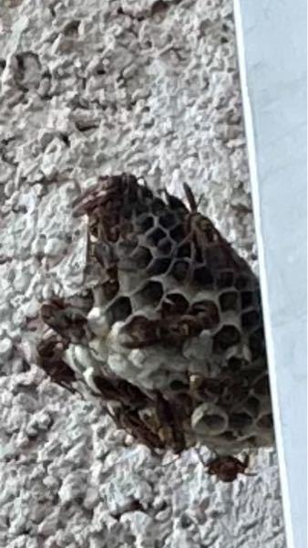 自宅のベランダに蜂の巣があったんですが、この種類って分かりますか?また、自分で駆除するより、業者などに頼んだほうが良いですか?わかる方回答お願いします。