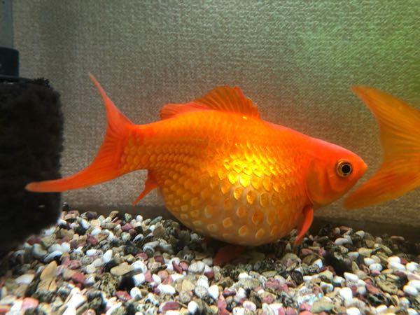 金魚の産卵についてです。 お腹が大きくなってから3週間くらいたったのですが、産卵しません。 手で出してあげた方がいいのでしょうか? 回答よろしくお願いします。