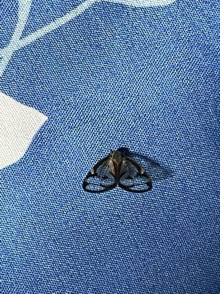 この蝶みたいな虫なんて名前ですか?羽がめちゃくちゃ透けてるんですけど。