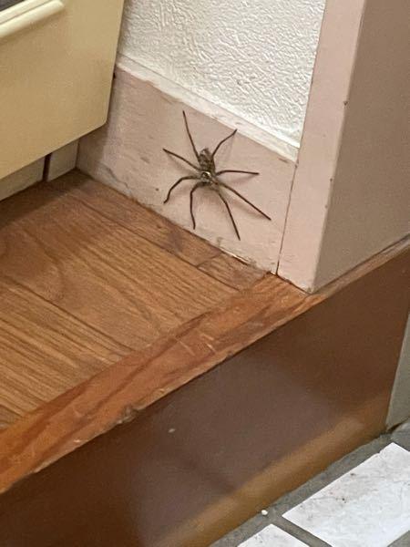 この蜘蛛はゴキ食べてくれますか!くれますよねくれますよね!!!!!キモいけど殺さない方がいいですよね