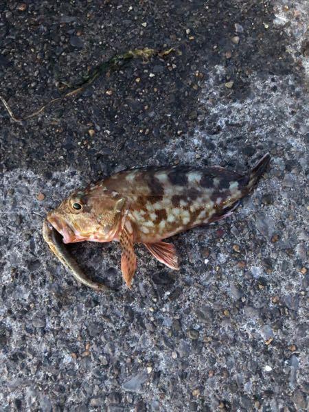 東京湾でカサゴを釣りました。カサゴの種類がわかる方教えてください