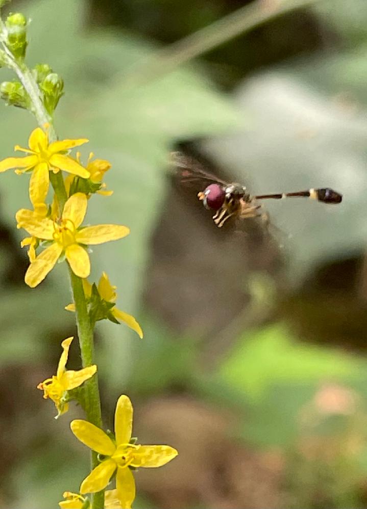 花の蜜を吸っているので、蜂だと思いますが、お尻がトンボみたいな小さな虫です。 5ミリくらいの小さな虫です。 これは、何という虫でしょうか?