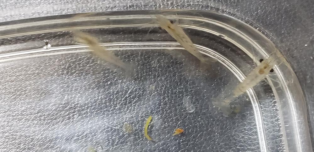 自宅近くの野池で採取したエビの種類についての質問です。 自宅のメダカなどと混泳出来るかどうか調べたいのですが種類が分からず困っています。 分かりにくいですが写真を添付します。 また捕まえた経緯としましては、魚の切り身に集まって来ました。 透明で楯スジが有るのでスジエビかと思いましたが検索して出てくる写真と 模様が異なります。 分かる方居られましたら教えて頂きたく。 宜しくお願い致します。