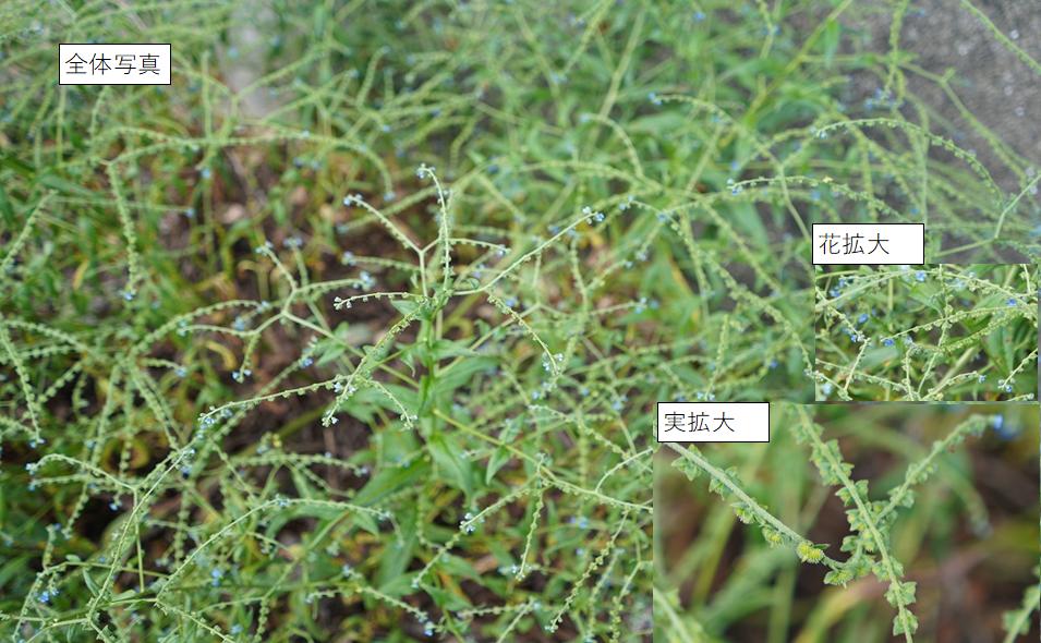 教えてください。 この花の名前を教えてください。外来種っぽいですが。 福岡、山間部、路傍、5月~6月です。