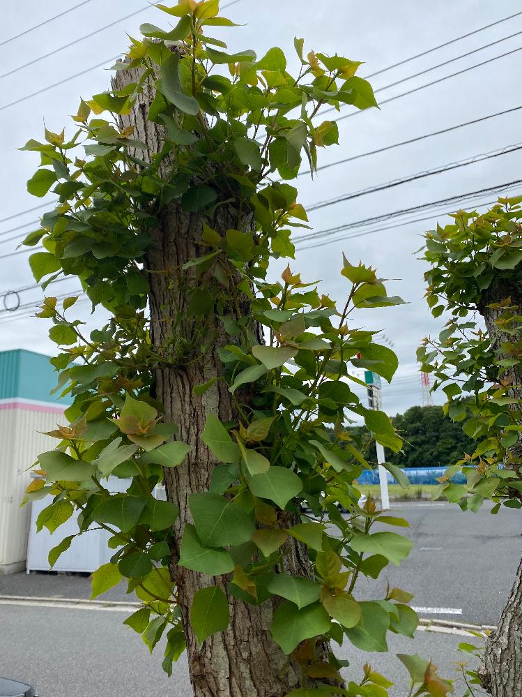 この木の名前を教えてください。 宜しくお願い致します。