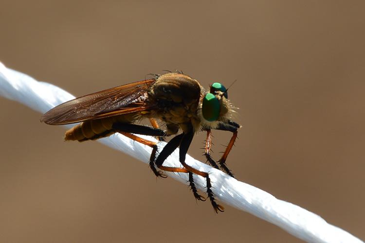 これってアブ蜂ですか? 先日とった写真です。 アブ蜂っぽいんですけど、なんとなく自分が知ってるフォルムと違うような・・・。 名前がわかる方いらっしゃいますか? よろしくお願いいたします。