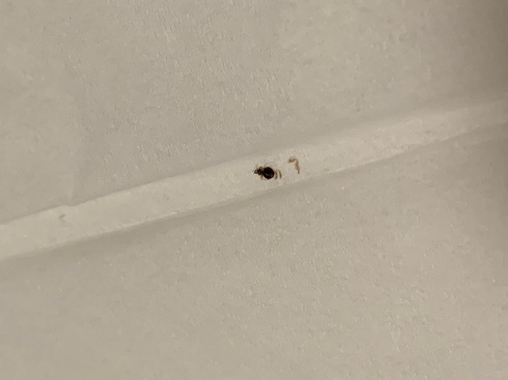 部屋に1mmくらいの虫がいました。 潰してしまい、わかりにくいのですがこれはマダニでしょうか‥? マダニならどうしたらよいのでしょうか‥ 命に関わりますか? 小さい子がいるので怖くて眠れません。