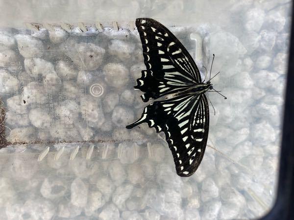 この蝶はなんて蝶でしょうか わかる方教えていただきたいです