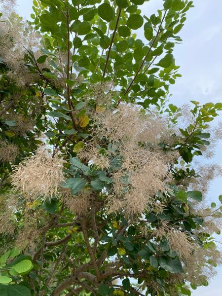 この植物の名前を 教えてください。 よろしくお願いいたします。
