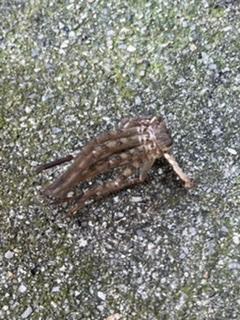家の表でこの蟹みたいな蜘蛛らしきものが蜘蛛の糸に引っかかって死んでいたのですが、一体何奴でしょうか