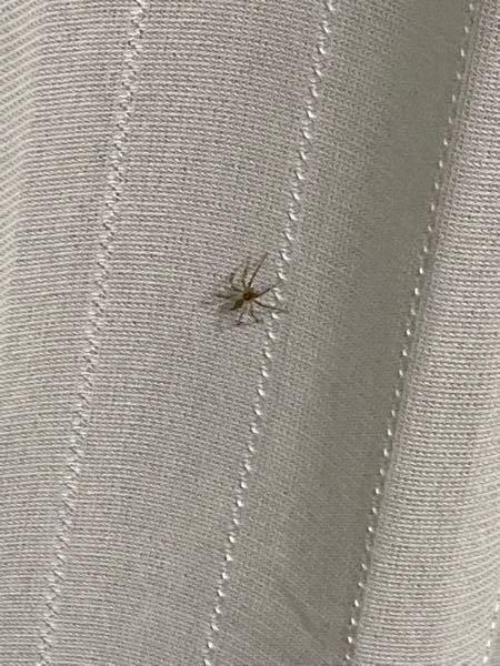 画像が小さくて申し訳ないのですが、この蜘蛛が何かわかる方はいらっしゃいますか?大きさは1〜2cm程度です。人間には無害でしょうか?