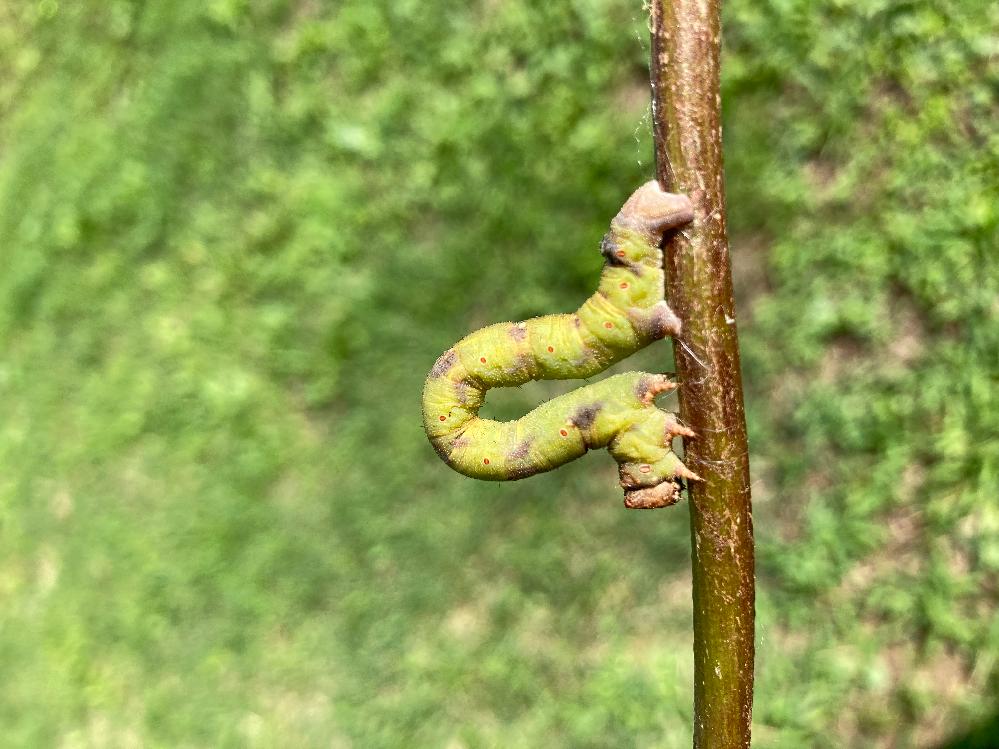 この虫は何でしょうか? 割と大きなシャクトリムです 顔は若干猫耳みたいな形です