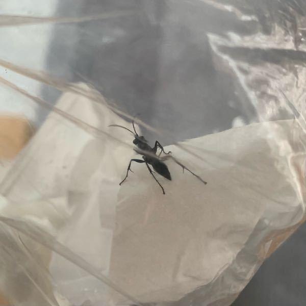 家に現れた虫が何なのか気になっています。 蟻に羽が生えたような、真っ黒な蜂のような見た目 1.5センチほどの大きさ