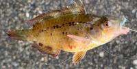 魚の種類を教えてください。 ちょい投げ(餌はアオイソメ)で写真の魚が釣れましたが名前がわかりません・・・毒があったら怖いのでよろしくお願いします。 場所は関西の日本海側の漁港です。