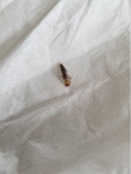 何かの幼虫でしょうか?家に居たのですが名前が分かる方いらっしゃいますか?