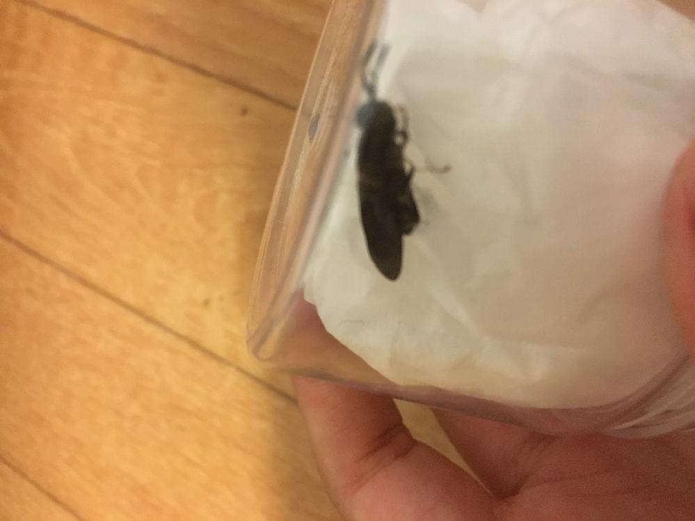 これなんて名前の虫ですか? 四国地方です。部屋に急に入ってきました。