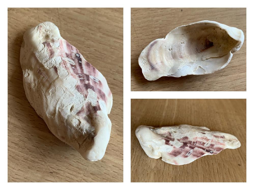 ビーチコーミングで見つけた貝殻です。 千葉の検見川浜です。 貝の種類が分かるかたいましたら、よろしくお願いします!!