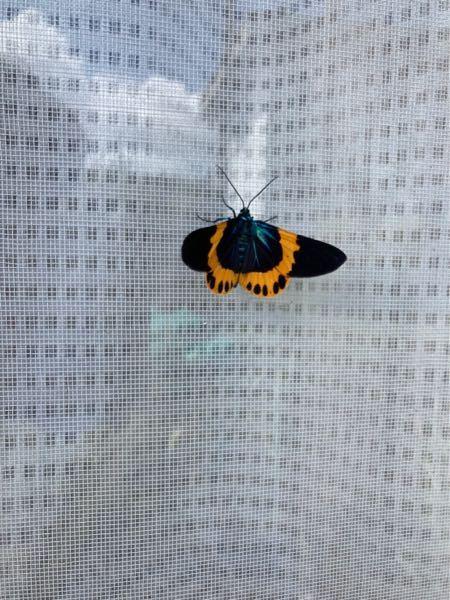 この蝶(蛾?)の名前を教えてください