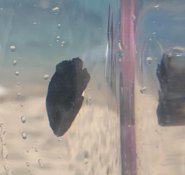 福井県の海で、親指ほどの大きさの真っ黒な魚を捕まえたのですが、なんの魚か気になったので質問させていただきました。 ヒレの先が若干白っぽい以外は真っ黒です。 画像がわかりにくいのですがお分かりでしたら教えてください。