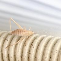 カマドウマのような虫 なんという種類でしょうか?