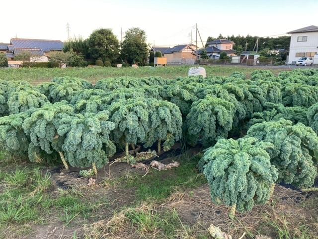 これは何の野菜でしょうか? お散歩中に発見しました。 見たことがなく、何の野菜か気になります。 よろしくお願いします。
