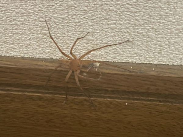 これはアシダカグモでしょうか? 頻繁にアシダカグモに出会う家に住んでいますが Google lensを使用したところ、1番最初にドクイトグモと出てきた為潰してしまいました。 よく調べるとドクイトグモは国内で発見されていないと見ました。 アシダカグモは生かしておきたいので今後の為にも 昆虫・蜘蛛にお詳しい方、見た感じでいいのでご意見頂きたいです。