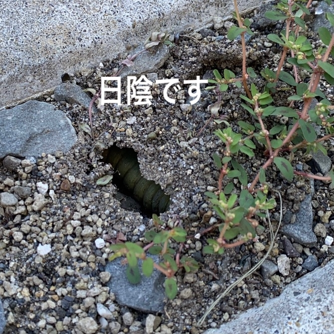 何の幼虫でしょうか?教えて下さい! 駐車場に変な穴があって、見たら中に幼虫がいます。サイズ的に掘って出す勇気がないのですが、この写真だけで分かりますか?