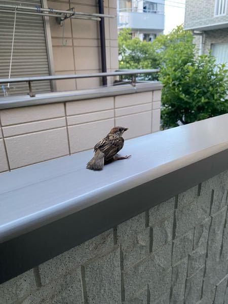 日没前に飛行練習中のスズメのヒナがアパートの廊下(2階)に迷い込んでしまっていたので手すりに乗せてあげました。しばらくして下に飛び落ちてしまって親鳥がなかなか見つけられずに探し回っていましたが、日が暮れ てしまい親鳥の姿がなくなってしまいました。ひとりぼっちでフェンスで待ってるヒナが心配です。 このまま明日まで生き延びられるのでしょうか……?