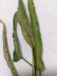 栽培中の空芯菜がイマイチ育ちません。写真の様に葉が黄色っぽく細く穴が空いており、巻いています。病気でしょうか? どのような対処の仕方がありますか? 因みにオクラの間に植えています。