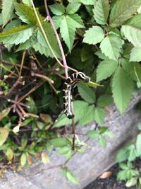 この幼虫は成虫となると何になるのでしょうか? よろしくお願い申し上げます。