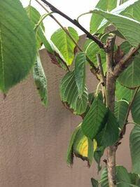 桜の木について 桜の木を鉢で育てているのですが写真のように葉が茶色くなっています(ほとんどの葉が)どうすれば緑の綺麗な葉に戻るでしょうか