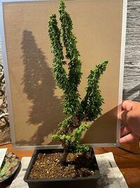 ホームセンターで盆栽を買ったのですが、これからどうしていくべきですか?