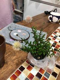 この植物、山野草とだけ書かれて売ってあったんですが、他の植物も同じ名前で売られていました。 どなたか、名前のわかる方いらっしゃいますか?