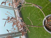 葉が茶色く枯れた(幹の内部は緑)オリーブを復活させたいです!お知恵を貸してください>_< 品種はチプレッシーノです。 以前部屋の中で育てていたら日照不足と思われ葉先が茶色くなってきたため、4月頃から外で育てることにしました。 しかしおそらく直射日光と水不足により(もしくは環境が急に変わって驚いた?)気がついたら全ての葉が茶色くなってしまいました、、、  幹を削ると中は瑞々...