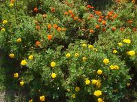 この花は何ですか? キンセンカですか? 今朝、相模川の河口近くのお花畑に咲いていました。