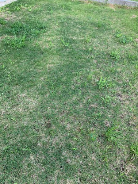 芝生に生えてくる草をラクに手入れする方法を教えてください。 シバキープなどの、芝生を元気にしつつ雑草は除去するようなものは使っていたのですが、しっかりした草がいっぱい生えてきました。 除草剤をすると芝生が枯れてしまうので使えず悩んでいます。 この手の草は根こそぎ抜きにくくて手作業では上っ面しかとれず、すぐ元どおりです。 段々増えて困ってます。 良い方法がありましたら教えてください!