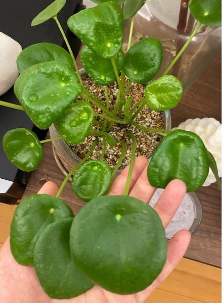 ペペロミオイデスと言う観葉植物について質問致します。どなたか分かる方に教えて頂きたいです。 買った当初は葉っぱも綺麗に丸かったのですが、何故か1ヶ月程前くらいから、葉っぱが内側にくるんと丸まり始めました。 ネットで色々調べたり、買ったお店に聞いたりもしたのですが、原因がよく分からず、、、 葉水は朝晩の2回、日当たりはカーテンの側にて1日中日が当たります。冷房に直接当たらない位置にあり、水やりは水やりチェッカーにて白くなれば水をたっぷりあげております。 根詰まりの可能性を指摘され、少し前に一回り大きめの鉢に移したのですが、やはり出てくる新芽もくるんと丸まっています。 何が原因なのでしょうか??( ; ; )( ; ; )
