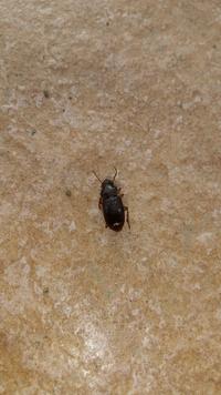 これゴキブリの赤ちゃんでしょうか?