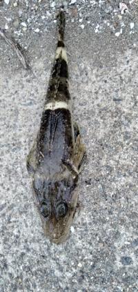河口に近い海で青イソメでつれました。 何という魚でしょうか。20センチくらいです 自然に針からはずれましたが、持つ時など気をつけることがあれば教えて下さい。 よろしくおねがいします。