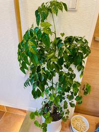 観葉植物について詳しい方、教えてください。 頂き物の観葉植物なんですが名前がわからず、適切なお世話ができているか心配です。 どなたかわかる方、いらっしゃらないでしょうか? よろしくお願い致します。