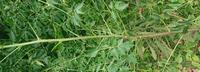 これはなんという木ですか?庭に生えているんですがものすごい速さで枝が伸びます。タラの芽にも似ていますが幹にトゲはありませんでした。